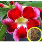 アデニウム・オベスム 'サンタ'(ADENIUM OBESUM 'Santa')の種子