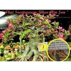 アデニウム・ソコトラナム 'KHAO HIN SON'(ADENIUM SOCOTRANUM  'KHAO HIN SON')の種子