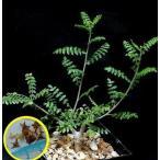 乳香の木の塊根植物 ボスウェリア・ネグレクタ(BOSWELIA NEGLECTA)の種子