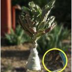 キフォステンマ・バイネシー(ブドウ盃)(Cyphostemma bainesii)の種子