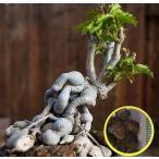 キフォステンマ・キロースム(Cyphostemma cirrhosum)の種子