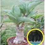 キフォステンマ・ユッタエ(ブドウ亀)(Cyphostemma juttae)の種子