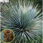 青い葉のダシリリオン グラウコフィラム(Dasylirion glaucophyllum)の種子