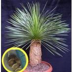 ダシリリオン・ロンギシマム(Dasylirion longissimum)の種子