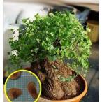 ディオスコレア・ヘミクリプタ(Dioscorea Hemicrypta)の種子
