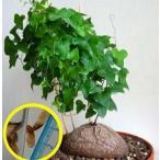 ディオスコレア・シルバチカ(Dioscorea-sylvatica)の種子