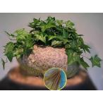 ゲラルダンサス・マクロリザス(眠り布袋)(Gerrardanthus Macrorhiza)の種子
