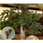 オペルクリカリア・ボレアリス(Operculicarya Borealis)の種子