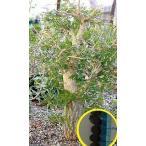オペルクリカリア・デカリー(Operculicarya Decaryi)の種子