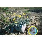 パキポディウム・カクチペス(Pachypodium cactipes)の種子