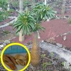 パキポディウム・フィヘレンセ(Pachypodium fiherense)の種子