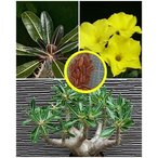 パキポディウム・ロスラーツム(Pachypodium rosulatum)の種子