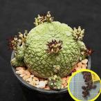 プセウドリトス(シュードリトス)・ミギウルティヌス(Pseudolithos migiurtinus)の種子