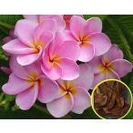 プルメリア 'Belle-vista' (Plumeria RUBRA 'Belle-vista')の種子