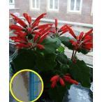 シンニンギア・カルディナリス(断崖の緋牡丹)(Sinningia cardinalis)の種子