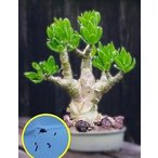 チレコドン パニクラツス 阿房宮(Tylecodon Paniculatus)の種子