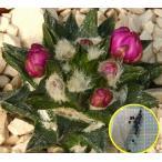 アリオカルプス・龍角牡丹(ariocarpus scapharostrus)の種子
