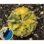 アストロフィツム 瑠璃兜錦(Astrophytum asterias nudum variegata)の種子