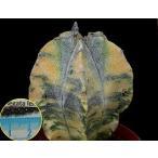 アストロフィツム・ミリオスティグマ(斑入り)(ASTROPHYTUM myriostigma variegata)の種子