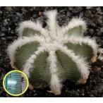 アズテキウム・ヒントニー(Aztekium hintonii)の種子