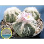 アズテキウム・リッテリ花籠(はなかご)(Aztekium ritteri)の種子