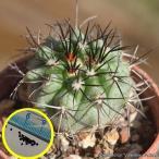 コピアポア 竜牙玉(Copiapoa cinerascens)の種子