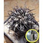 コピアポア・グリセオビオラセラ(copiapoa griseoviolacea)の種子