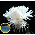 ディスコカクタス・ホルスティ(discocactus horstii)の種子