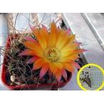 エキノプシス・パンパナ(echinopsis pampana)の種子