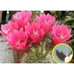 エキノプシス 紅鳳丸(echinopsis mamillosa kermesina)の種子