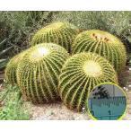 キンシャチ(金鯱) Echinocactus Grusonii の種子