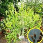 ユーフォルビア・ミルクブッシュ(緑珊瑚)(Euphorbia tirucalli)の種子
