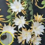 エピフィルム・アングリガー(白眉孔雀/有角孔雀)(Epiphyllum anguliger)の種子