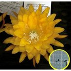 クジャクサボテン YELLOW TANG(EPIPHYLLUM YELLOW TANG)の種子