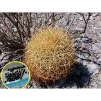 棘が金色(黄色)のフェロカクタス・ジョンストン玉(Ferocactus johnstonianus)の種子