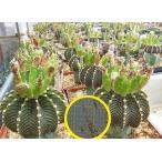 ギムノカリキウム 牡丹玉(フリードリッヒ) LB2178(Gymnocalycium friedrichii LB2178)の種子