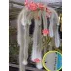 ヒルデウィンテラ・コラデモノニス(Hildewintera Colademononis)の種子