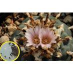 ロホホラ 烏羽玉(Lophophora williamsii)の種子