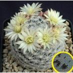 マミラリア・ナナ(Mammilaria nana)の種子
