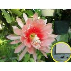 クジャクサボテン・アーガス(ORCHID CACTUS ARGUS)の種子