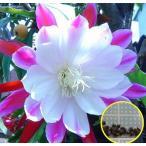 クジャクサボテン(クラウン)(ピエロ)(ORCHID CACTUS CLOWN)の種子
