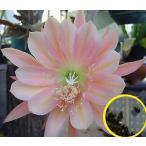 クジャクサボテン(キング・ミダス)(ORCHID CACTUS King Midas)の種子