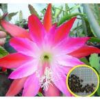 クジャクサボテン(オリエント・エクスプレス)(ORCHID CACTUS ORIENT EXPRESS)の種子