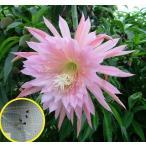 クジャクサボテン  ピンクの羽毛(ORCHID CACTUS PINK PLUMES)の種子