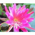 クジャクサボテン(パープル・ページェント)(ORCHID CACTUS PURPLE PAGEANT)の種子
