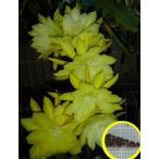 クジャクサボテン(昨日の思い出)(ORCHID CACTUS YESTERDAYS MEMORIES)の種子