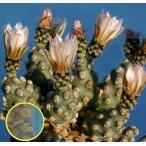 オプンチア・モリネンシス(Opuntia Molinensis)の種子