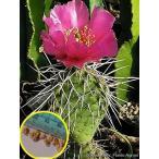 オプンチア・ポリアカンサ 修羅道(Opuntia polyacantha)の種子