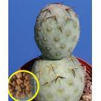 オプンチア・テフロカクタス・アレクサンデリ・ゲオメトリクス(Opuntia Tephrocactus alexanderi v. geometricus)の種子
