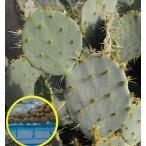フルーツの実るオプンチア・オービキュラータ(Opuntia orbiculata)の種子
